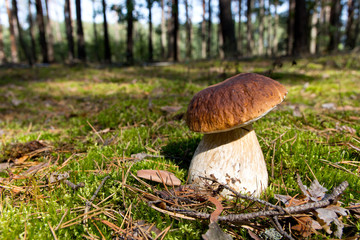 Cep mushroom .Boletus in the moss in the forest. The pattern for the autumn calendar