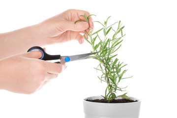 Woman cutting rosemary plant in pot on white background