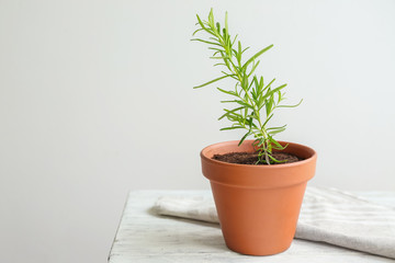Rosemary plant in pot on table against light background