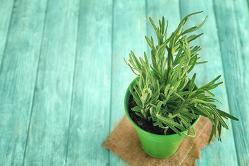 Rosemary plant in pot on wooden table