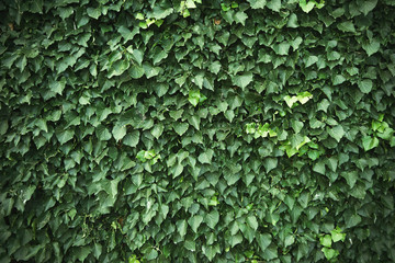 Wall covered with green ivy vines Wall mural