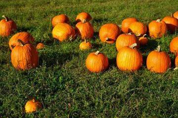 Orange pumpkins in a fiels in the fall