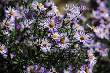 lila Herbst-Aster (Aster spez.)