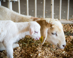 Mother sheep and baby lamb side by side in a pen.
