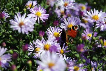 Tagpfauenauge (Aglais io) auf lila Herbst-Aster (Aster spez.)