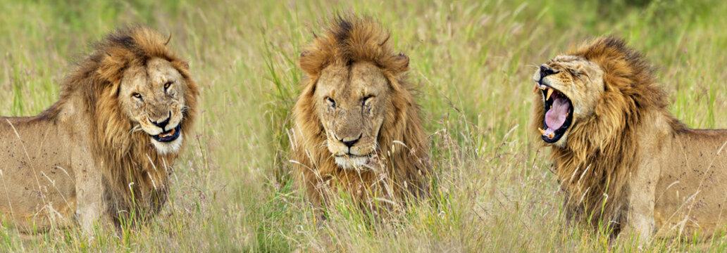 Lion Smile, Wink & Roar