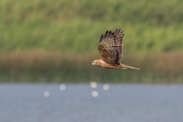 Bird in flight -  Eastern Marsh Harrier (Circus spilonotus)