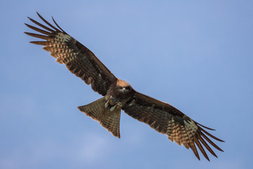 Bird in flight - Black Kite  (Milvus migrans)