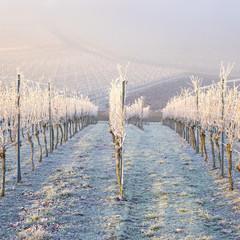 Winter und morgendlicher Bodenfrost im Weinberg