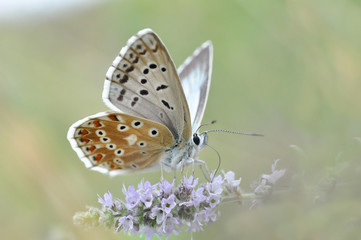 Chalkhill Blue butterfly on mint flower. Polyommatus coridon butterfly in nature