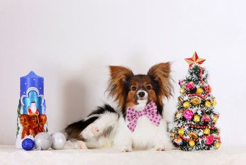 Beautiful white puppy with a red head on a light background. Papillon lies with Christmas decorations. New year of the dog. Studio photography. Horizontal image.