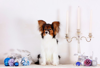 Papillon sits with Christmas decorations. A small white puppy with a red head on a light background. A dog next to candles and Christmas toys. Chinese horoscope.