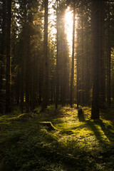Dark forest illuminated by sunlight. Wood full of the moss and trees.