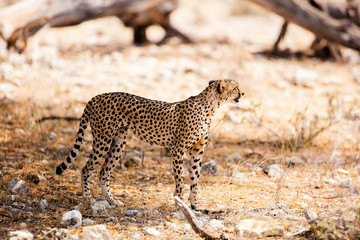 Cheetah in Samburu National park