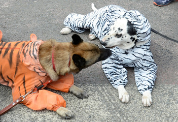 Dogs dressed in tiger suits are seen during Tiger Day celebrations, dedicated to the protection of the endangered Amur tiger, in the far eastern city of Vladivostok