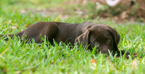 A brown haired puppy lying in the grass.