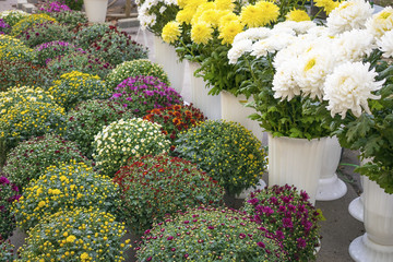 Varietal chrysanthemums in a flower shop. White, yellow, red and pink chrysanthemum in vases and pots in flower market. Bouquets of chrysanthemums. Flowers for Trade, flower-show