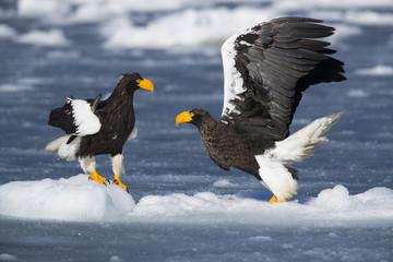 Riesenseeadler beim Kampf um Fisch