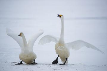Singschwaene auf dem Eis