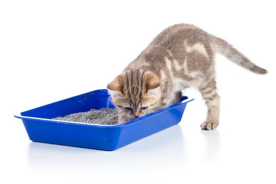 cat kitten in toilet tray litterbox isolated