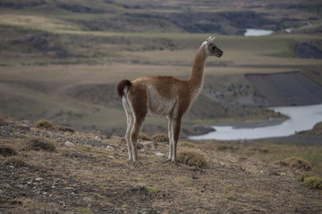 Vicuna in the mountains of Patagonia. National Park Torres del Paine. Patagonia. Chile.
