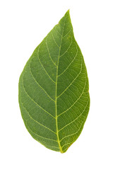 walnut leaf is isolated