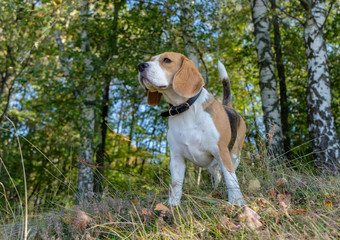 Beagle dog walking in the autumn forest