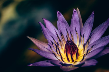 Close up purple lotus blooming, macro photography