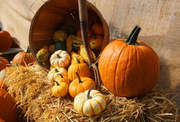 pumpkin harvest and decoration in the farm