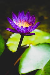 Close up purple and yellow  lotus on pond