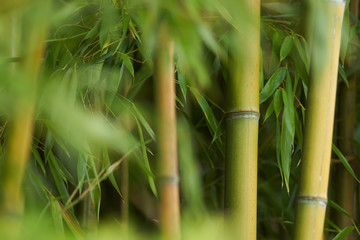 Poster Bamboe Bambous