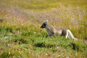 young puppy of arctic fox captured in northern iceland in late summer