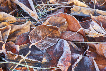 Autumn leaves covered in early morning frost