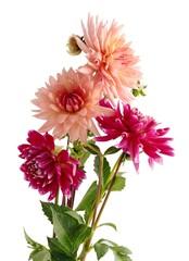 Poster de jardin Dahlia pretty flowers of dahlia