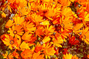 South African Northern Cape wild flowers in the spring at the old O'Kiep copper mine.