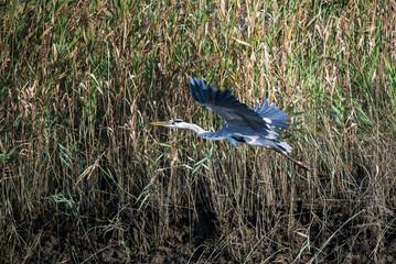 Grey heron in flight (japan)