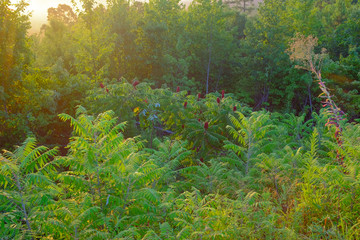 Light from a sunrise illuminates the vegetation next to a scenic overlook in the Talladega National Forest near Cheaha Mountin in Alabama, USA