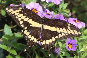 Fotoväggar - Giant Swallowtail Butterfly (Papilio cresphontes)