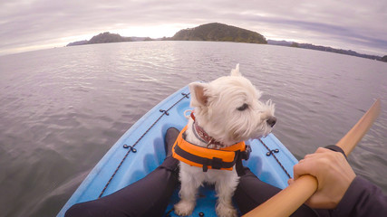 West highland white terrier westie dog kayaking in Paihia, Bay of Islands, New Zealand, NZ