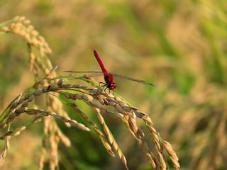 稲穂にとまる赤トンボ