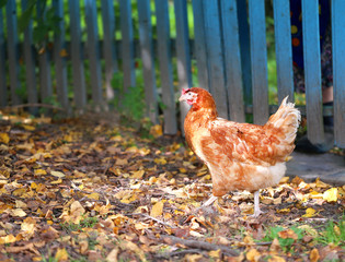 Photo of an orange beautiful chicken