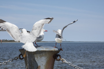 Three seagulls fighting on a post.