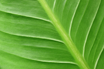 Wall Mural - close up of green leaf for abstract or background
