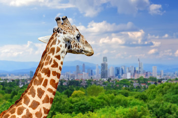 Giraffe with the city of on the background