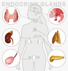 Endocrine Glands Image
