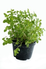 marjoram herb as potted plant