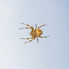 spider on blue sky background. hunter