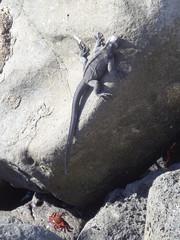 Meerechse - Marine iguana in freier Wildbahn