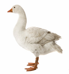white goose (Anser anser domesticus) isolated on a white background