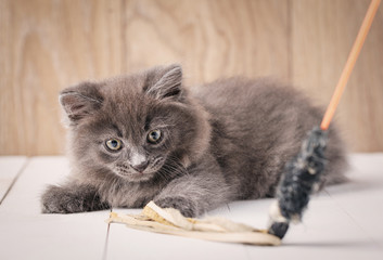 Playful gray Kurilian Bobtail kitten